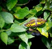 Tailed Jay Butterfly (Graphium agamemnon) — Stock Photo