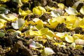 Yellow rose fallen petals — Stock Photo