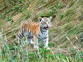 Bengal tiger (Panthera tigris tigris) — Stock Photo