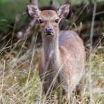 Fallow Deer (Dama dama) — Stock Photo #54242725