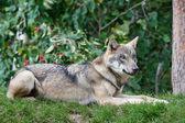 Grey Wolf (Canis lupus) — Stockfoto