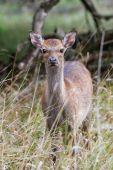 Fallow Deer (Dama dama) — 图库照片
