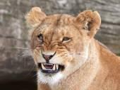 Lion (Panthera leo) — 图库照片