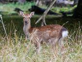 Sika Deer (cervus nippon) — Foto Stock