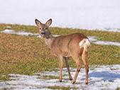 European Roe Deer (Capreolus capreolus) — Foto de Stock