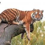 Amur Tiger (Panthera tigris altaica) — Stock Photo #59747349