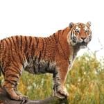 Amur Tiger (Panthera tigris altaica) — Stock Photo #60473571