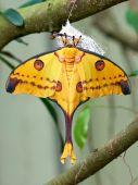 Madagascan moon moth (Argema mittrei) — Stock Photo