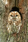 Tawny Owl (Strix aluco) — ストック写真