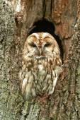 Tawny Owl (Strix aluco) — Foto de Stock