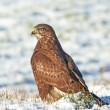 Common buzzard (Buteo buteo) — Stock Photo #63211359