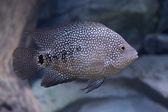 Texas cichlid (Herichthys cyanoguttatus) — Stock Photo