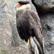 Crested Caracara (Polyborus plancus) — Stock Photo #69650387