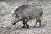 Warthog (Phacochoerus africanus) — Stock Photo