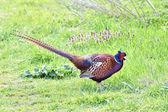 Common Pheasant (Phasianus colchicus) — Stock Photo