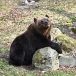 Brown bear (Ursus arctos) — Stock Photo #72110527