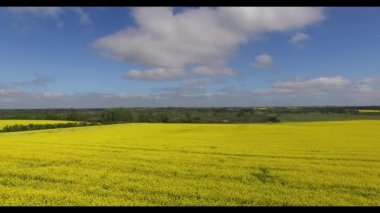 Rapeseed (Brassica napus) fields in aerial view — Stock Video