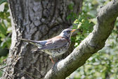 Fieldfare (Turdus pilaris) — Stock Photo