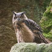 Eurasian eagle-owl (Bubo bubo) — Stock Photo