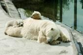 Polar she-bear with cubs sleeps — Stock Photo
