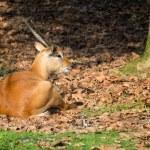 Fallow Deer — Stock Photo #59158451