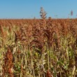Field of sorghum — Stock Photo #61702851