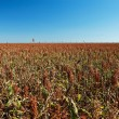Field of sorghum — Stock Photo #61703527