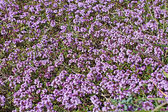 Flourishing thyme herb with pink flowers — Stock Photo