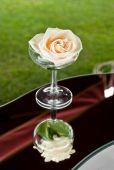 A white rose in champagne glass — Foto de Stock