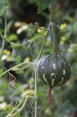 Abóbora verde — Foto Stock