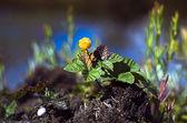 Mature on cloudberry bog hummock. — Stock Photo