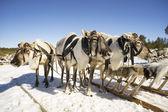 Rendieren slee in de winter op de sneeuw. — Stockfoto