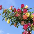 Branch with red and yellow roses on a background of blue sky. — Stock Photo #78723956