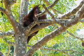 Chimpanzee sitting on branch — Stock Photo