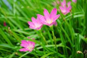 Rain lily pink flowers — Stock Photo