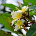 Frangipani, Plumeria, Templetree — Stock Photo #54778899