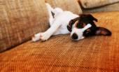 ソファに横になっている子犬 — ストック写真