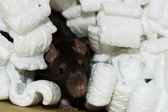 Brown rat in packing peanuts — Stock Photo