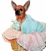 Chihuahua dog in basket — Stockfoto