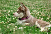 Puppy in a field of clover — Stock Photo