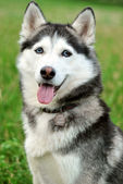 Portrait black and white husky — Foto Stock