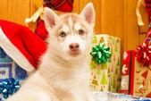 Husky puppy — Stock Photo