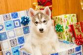 Gorgeous grey husky puppy — Stock Photo