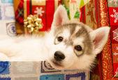 Grey husky puppy resting — Stock Photo