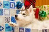 Beautiful puppy Peeps — Stock Photo