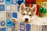 Beautiful little puppy — Stock Photo
