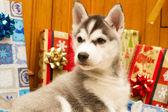 Vackra husky — Stockfoto