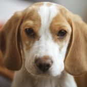 ビーグル犬の子犬の肖像画 — ストック写真