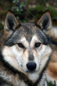 Siberian hunting dog Laika,  sled dog, Siberia, Russia, Восточно-сибирская лайка, охотничья собака — Stock Photo