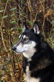 Siberian hunting dog Laika, Russia, Сибирская охотничья лайка, Россия — Stock Photo